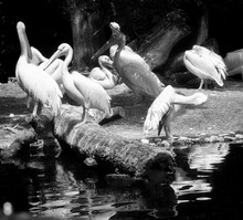 Animal Wildlife, White Pelican Colony Near A Pond. Pelicans Are Gregarious Bird Of Pale Plumage Traveling In Flocks Together.