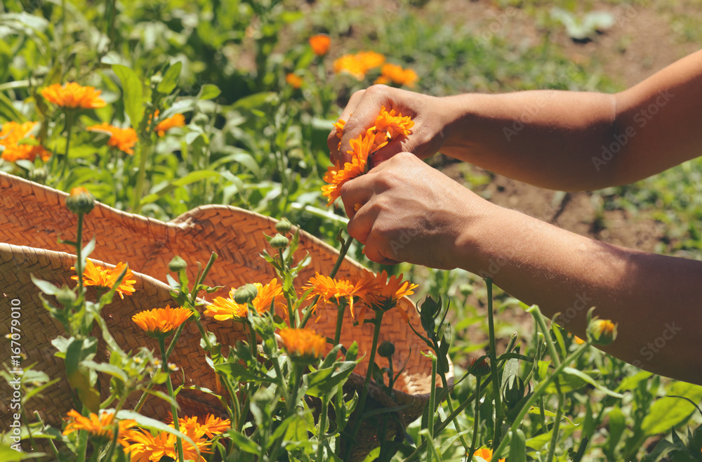 Fototapety, obrazy: harvesting calendula flowers