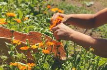 Harvesting Calendula Flowers