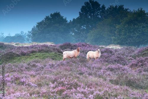 Poster Lavendel sheep on pink pasture with heather