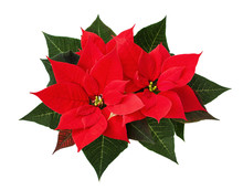 Christmas Poinsettia Flowers