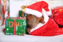 Weihnachts Eihhörnchen