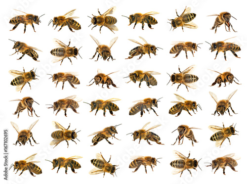 Leinwand Poster group of bee or honeybee on white background, honey bees