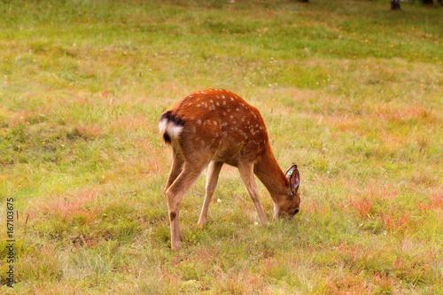Fotobehang Ree Young female deer spotted coloring eats grass on the Meadow. Deer graze in the field. Breeding deer.