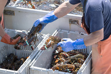 Lobstermen Sorting Just Caught...