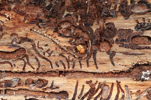 bark beetle as dangerous insect Wallpaper Mural