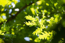 Green Leaves On An Oak Tree In...