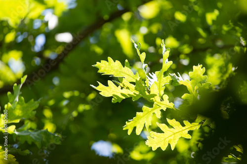 Green leaves on an oak tree in the nature Fototapet