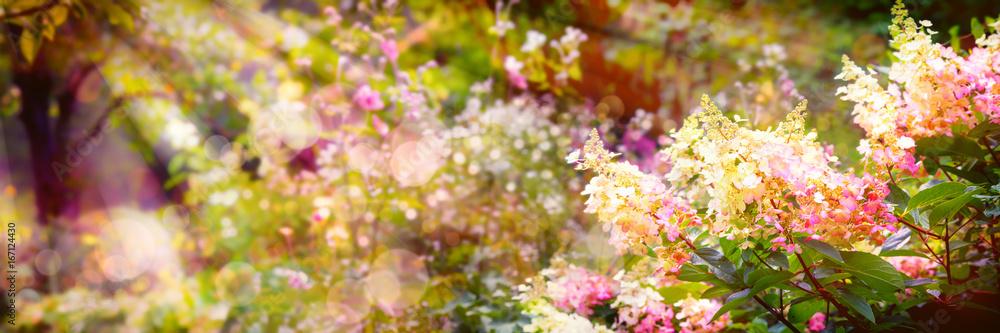 Fototapeta Summer background, Hydrangea paniculata