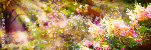 Obraz Summer background, Hydrangea paniculata - fototapety do salonu