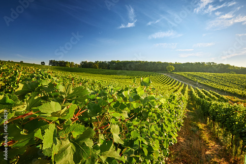 Aluminium Prints Vineyard Vineyard in the South Moravian Region of the Czech Republic with rows of grapes and vines