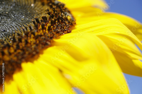 macro-side-view-photo-of-a-sunflower