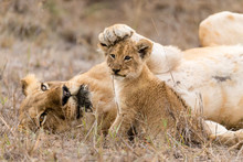 Lioness Keeps Her Cub In Check...