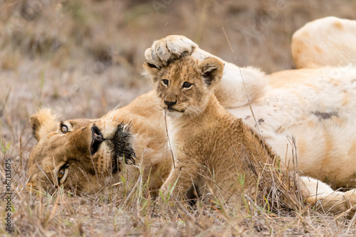 Fotografie, Obraz  Lioness keeps her cub in check by placing her paw on his head