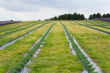 A Lavender Farm In The South O...