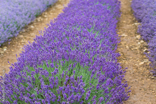 Tuinposter Lavendel A Lavender farm in the south of England in the summertime at daytime, lilac flowers with a delightful smell