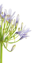 "Close Up Of Agapanthus Flower ""Lily Of The Nile"", Also Called African Blue Lily Flower, In Purple-blue Shade Isolated On White Background"