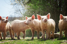 Young Pigs Grazing On Green Gr...