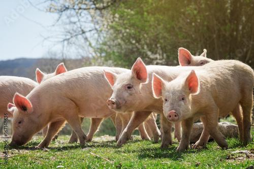 Fototapeta Young pigs grazing on green grass