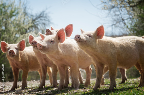 Foto  Young pigs grazing on green grass