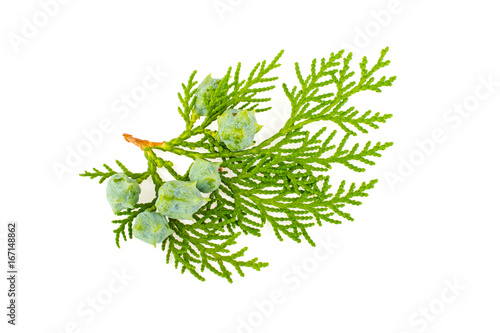 Foto Twig of thuja on white background