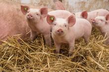 Glückliche Bioschweine Bio Ferkel - AGRARMOTIVE