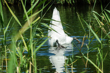 One White Swan Diver. Close Wi...