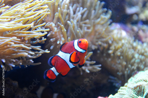 Canvas Print red clownfish in the coral reef