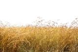 Fototapeta Sawanna - Red Oat Grass Isolated