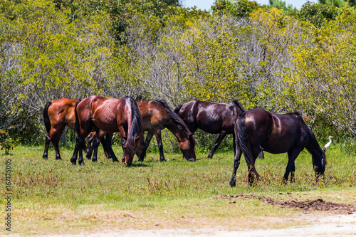 Fotografie, Obraz  A herd of wild Spanish Mustangs, which have roamed free in Corolla, North Carolina on the Outer Banks for what is believed to be about 500 years