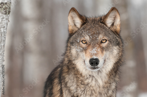 Grey Wolf (Canis lupus) Portrait Wallpaper Mural