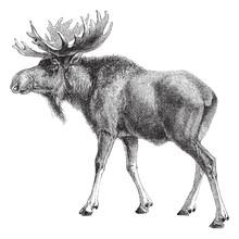 Reindeer (Rangifer Tarandus) -...
