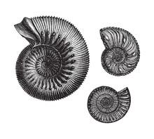 Ammonites (Jurastic Fossil Org...