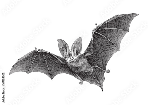 Fotografering Brown long-eared bat (Plecotus auritus) / vintage illustration