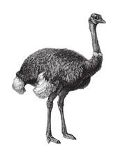 Ostrich (Struthio Camelus) / V...