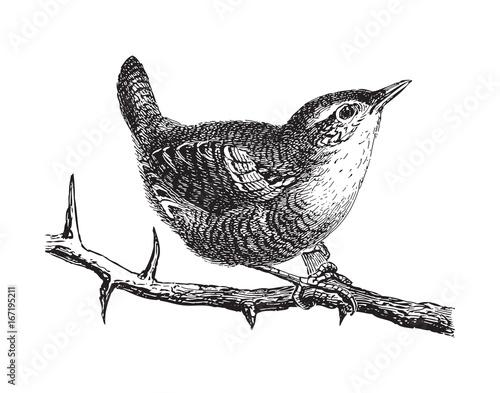 Valokuvatapetti Wren (Troglodytes parvulus) - vintage illustration