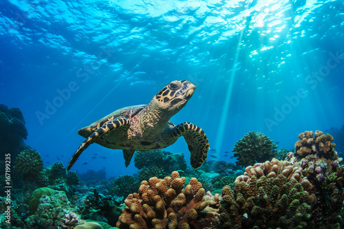 Poster Tortue Underwater coral reef and wildlife with sea turtles
