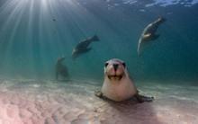 Australian Sea Lion Sitting On...