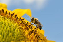 Honey Bee On Sunflower. Bee Produces Honey On A Flower. Close-up Shot Of Bee Collect Nectar On Sunflower