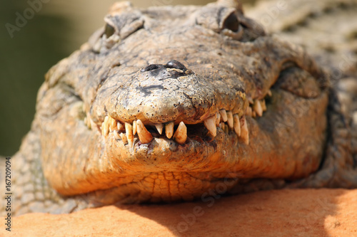 The head and jaws full of teeth of Nile crocodile (Crocodylus niloticus) from the front