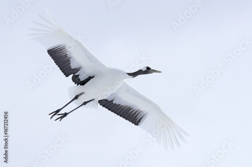 Crane in fly  Flying White bird Red-crowned crane, Grus