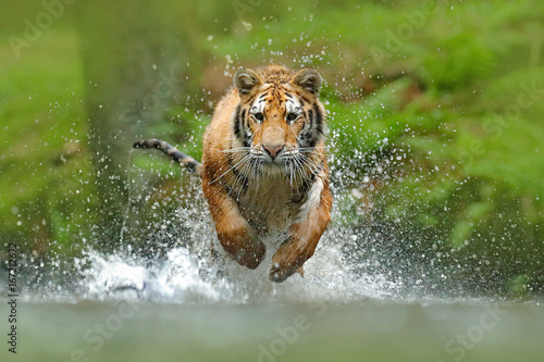 In de dag Tijger Siberian tiger, Panthera tigris altaica, low angle photo direct face view, running in the water directly at camera with water splashing around. Attacking predator in action. Tiger in taiga environment