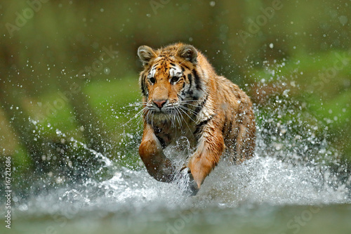 In de dag Tijger Tiger running in the water. Danger animal, tajga in Russia. Animal in the forest stream. Grey Stone, river droplet. Tiger with splash river water. Action wildlife scene with wild cat, nature habitat.