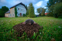 Mole In Garden With House In B...