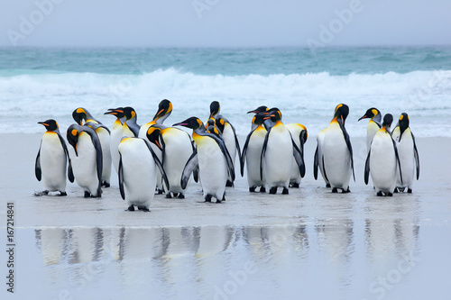 Group of king penguins coming back together from sea to beach with wave a blue sky, Volunteer Point, Falkland Islands. Wildlife scene from nature. Animal from Antarctica.