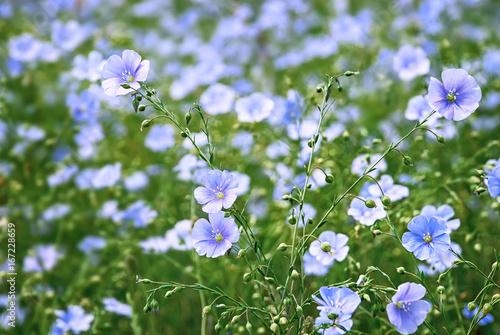 Obraz Flower and buds of flax plant - fototapety do salonu