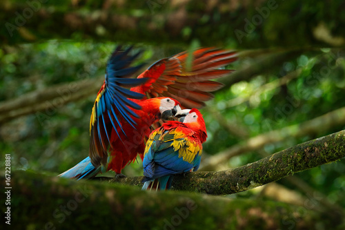 Photo Stands Bird Two beautiful parrot on tree branch in nature habitat. Green habitat. Pair of big parrot Scarlet Macaw, Ara macao, two birds sitting on branch, Brazil. Wildlife love scene from tropic forest nature.