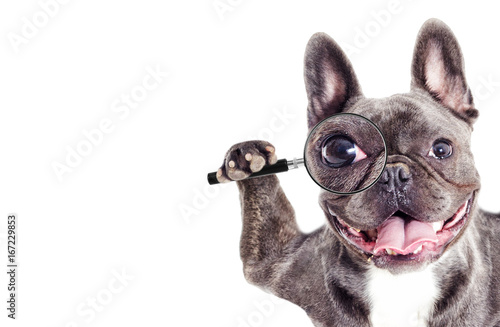 French Bulldog dog Looks into a magnifying glass