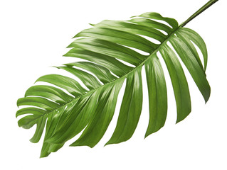 Monstera deliciosa leaf or Swiss cheese plant, isolated on white background with clipping path