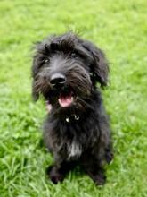 Schnoodle Black Puppy